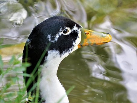 Duck, Water Fowl, Close Up, Wildlife, Nature