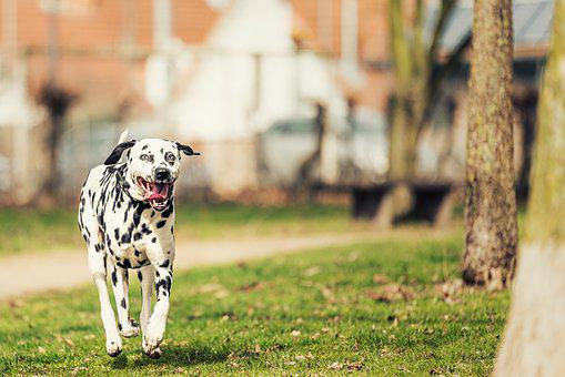 Dalmatians, Dog, Stains, Fur, Dog Breed, Floppy Ears