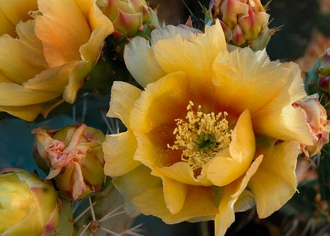 Prickly Pear, Cactus, Bloom, Yellow, Flower, Desert