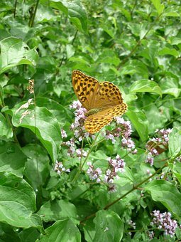 Fritillary, German Butterfly, Nature, Thyme Flowers
