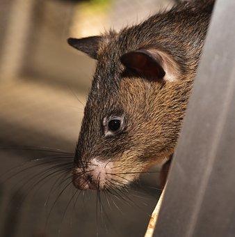 Rat, Giant Rat, Gambian Rat, Giant Hamster Rat