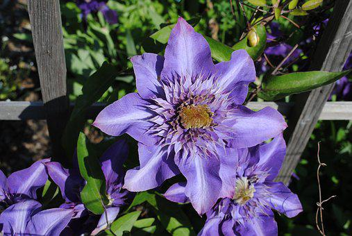 Clematis, Violet, Flower, Smart, Hell, Outdoor, Nature