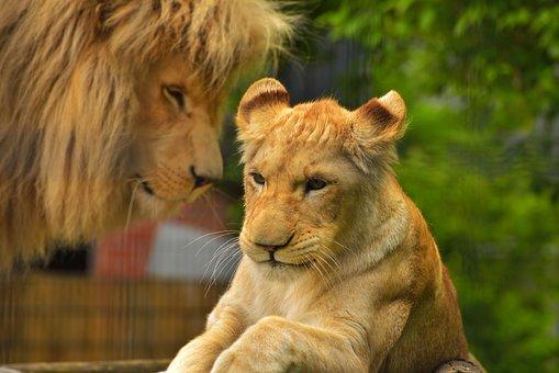 Lion, Female, Predator, Cat, Lioness, Animal, Big Cat