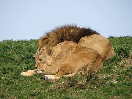 Animals, Lions, Lion, Lioness, Predator, Nature