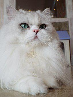 Cat, Rest, Relax, Cute, Animal, Domestic, Portrait
