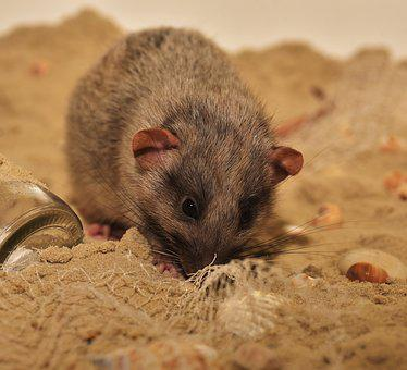 Nager, Rodent, Color Rat, Cute, Animal, Possierlich