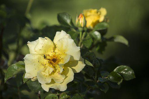 Rose, Summer, Yellow, July, Roses, Flowers, Green