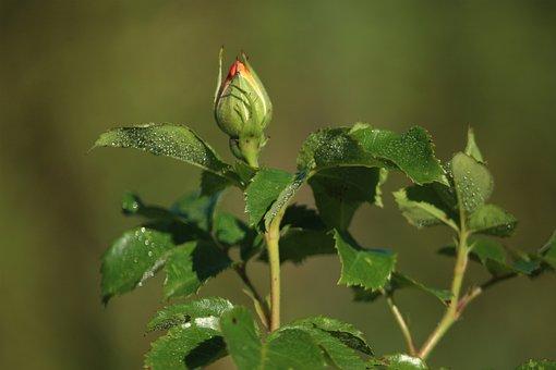 Rosebud, Rose, Garden, Beauty, The Delicacy, July