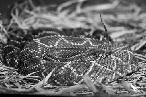 Cobra, Reptile, Animal, Nature, Zoology, Animal World