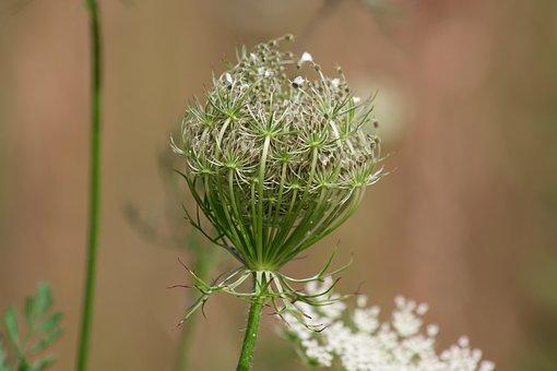 Meadows-yarrow, Achillea Millefolium, Faded