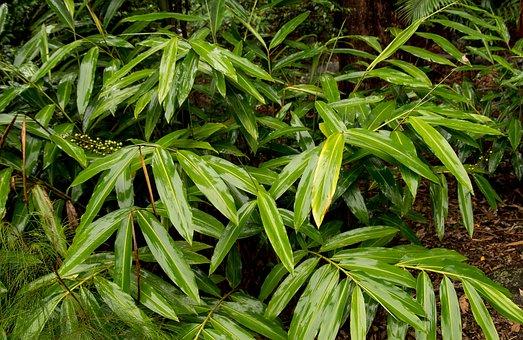 Native Ginger, Alpinia Caerulea, Leaves, Wet, Shiny