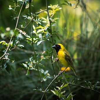 Bird, Male, Weaver, Beak, Feather, Animal, Birdwatching