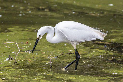 Little Egret, Ave, Bird, Feathers, Looking For Food