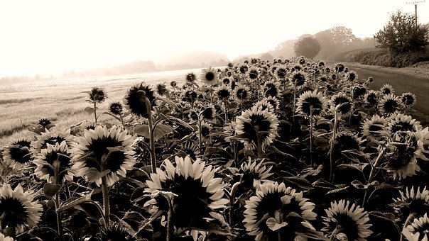 Sunflower, Question, Sw, Black And White Photo