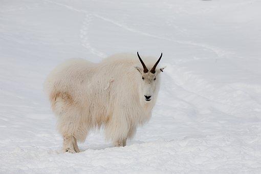 Mountain, Goat, Yukon, Wildlife, Canada, Animal, Mammal