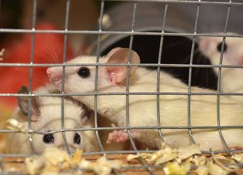 Mouse, Mastomys, Cute, Rodents, Close, Nager, Fur