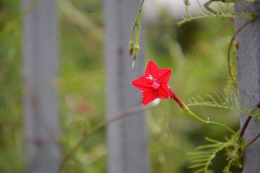 Pentagram, Five-pointed Star Flower, Red Flowers