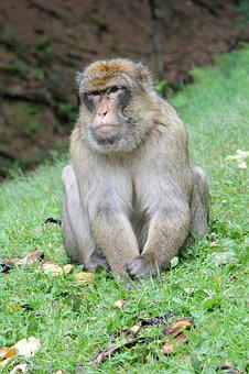 Monkey, äffchen, Animal, Capuchins, Forest, Nature