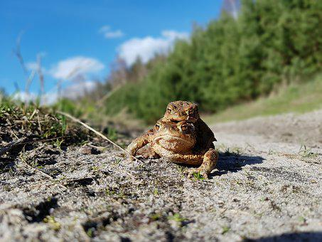 The Frog, Frogs, A Toad