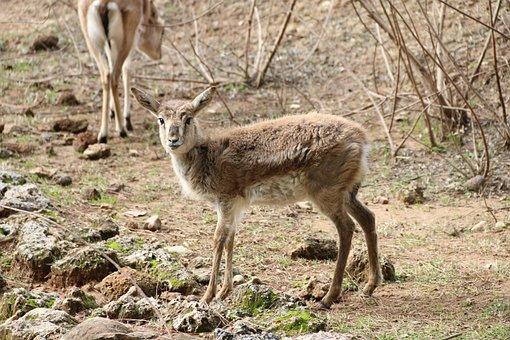 Gazelle, Animal, Nature