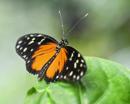 Butterfly, Exotic, Hécalé, Heliconius Hecale