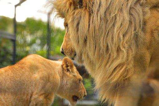 Lion, Mane, Cat, Predator, Males, Head, Male, Wildcat