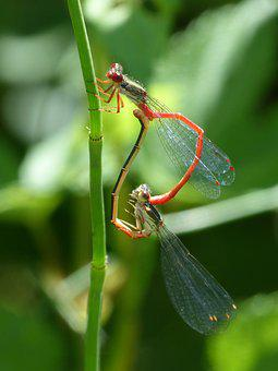 Dragonfly, Damselfly, Reproduction, Mating, Leaf