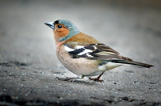 Chaffinch, Bird, Sparrow, Park, One, Ornithologist