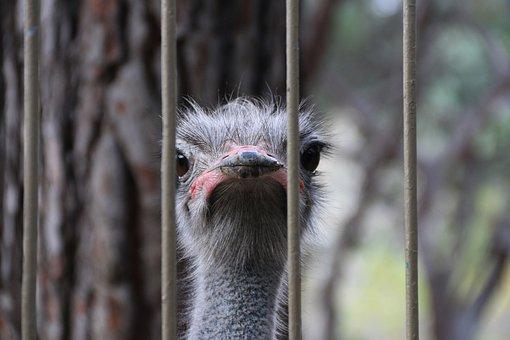 Ostrich, Railing, Nature