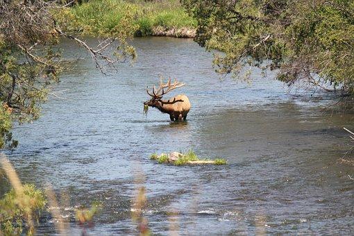 River, Elk, Wildlife, Park, Wild, Animal, Deer, Mammal
