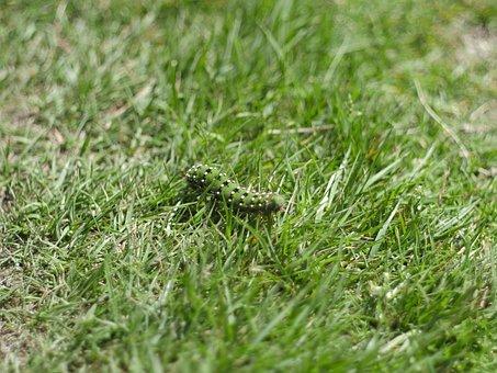 Caterpillar, Rush, Grass, Green, Meadow, Close, Ireland