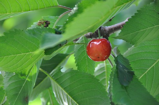 And Cherries, Sato Nishiki, Summer
