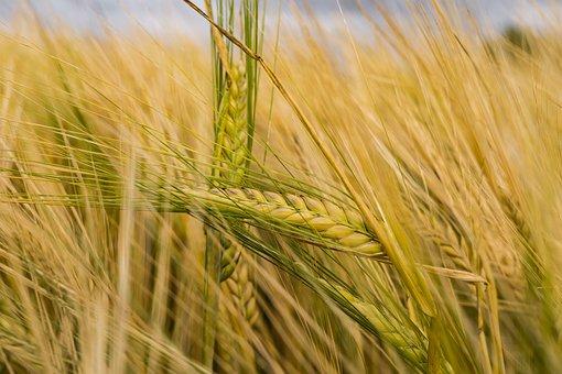 Barley, Arable, Cereals, Field, Wheat Field, Cornfield