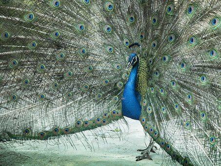 Peacock, Zeal, Male, Nice, Plumage, Feathers, Courtship