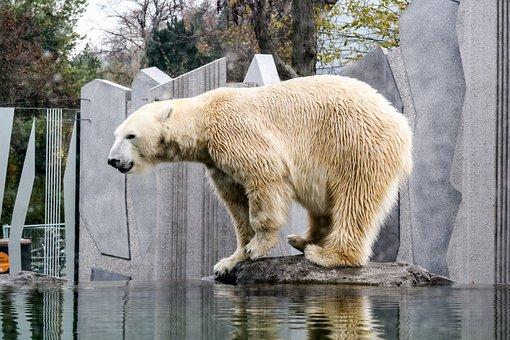 Bear, Polar Bear, Zoo, Animal, Zoo Schönbrunn, Vienna