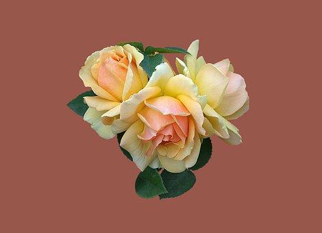 Bad Kissingen, Rose Garden, Rose, Rose Flower, Close