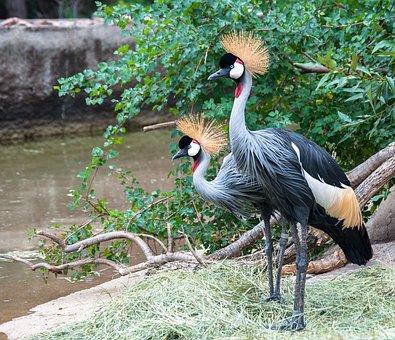 Grey Crowned Crane, Balearica Regulorum, Crane, Bird