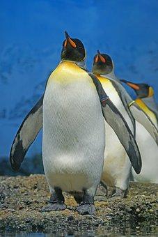 King Penguin, Penguin, Beaks, Penguin Band, Bird