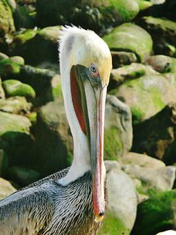 Pelican, Brown, San Diego, La Jolla, Bird, Wildlife