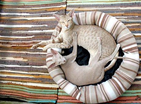 Cat, Kitten, Siamese Cat, Cozy, Blanket, Stripes