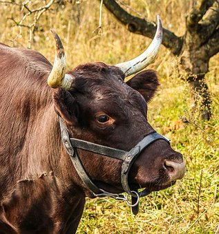 Cow, Milch, Harness, Bovine, Devon Cattle, Cattle