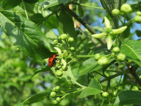 Euonymus Europeaus, Spindle, European Spindle