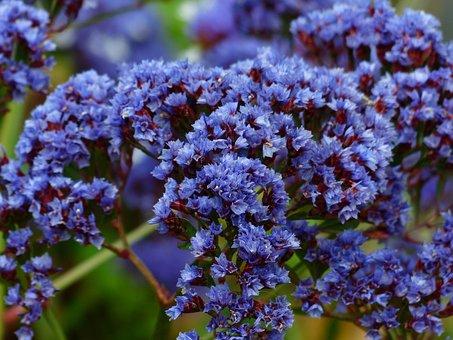 Flower, Blossom, Bloom, Blue, Beach Lilac
