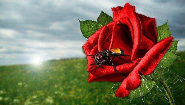 Rose, Nature, Light, Plant, Red Rose, Green Leaf, Green