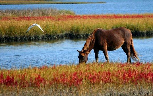 Horse, Wild Horse, Marsh Pony, Swamp, Grazing, Gull