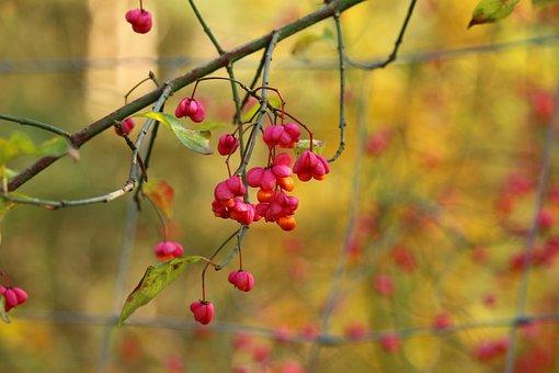 Autumn, Spindle, Blossom, Bloom, Ornamental Shrub
