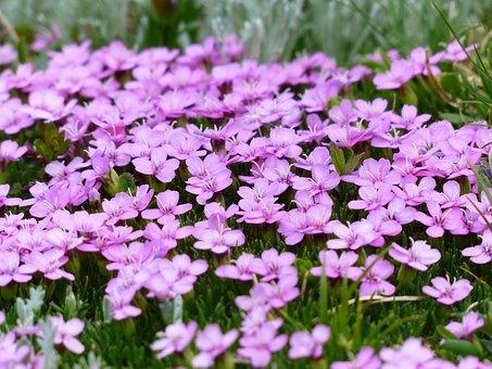 Flowers, Plants, Meadow, Pink Flowers, Cushion Pink