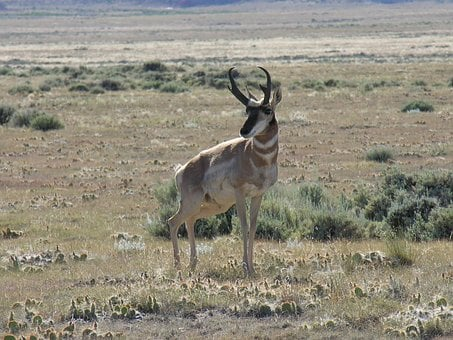 Antelope, Pronghorn, Nature, Wildlife, Wyoming, Arid