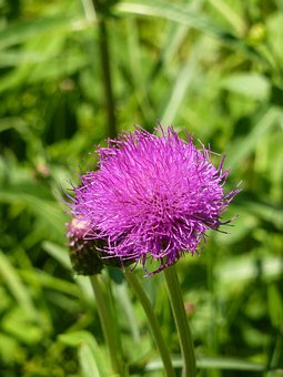 Thistle, Cirsium Vulgare, Purple, Violet, Flower