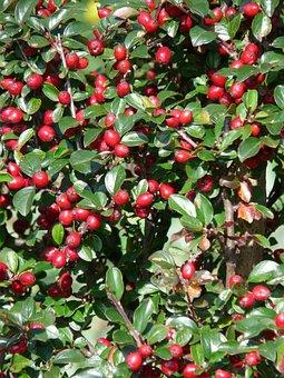 Sparrige Zwergmispel, Bush, Berries, Red